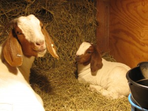 Goat no. 94 and her kid from 2011